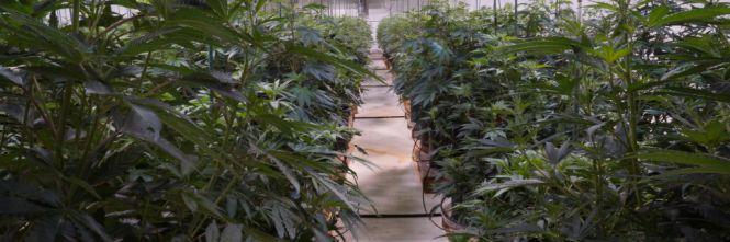 Nativa il franchising della Marijuana se e quando sarà legale